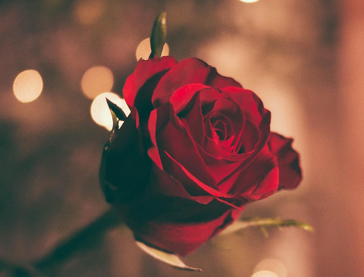 Valentine rose_1200px.jpg